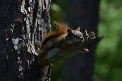 Typically I see these energetic red squirrels running around and through the trees. This guy decided to take a nice snooze instead!