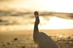 Snowy Egret eyeing me down on the beaches on Indian Shores, Florida
