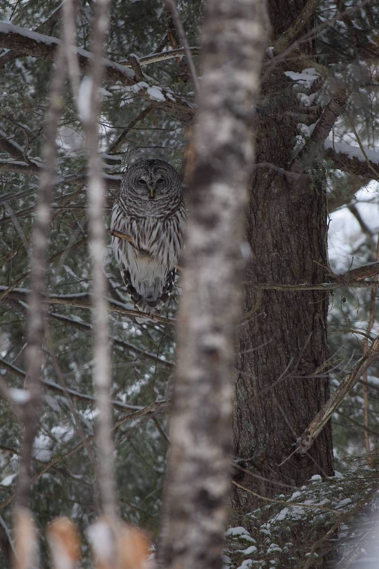 Barred owl 2 (small)